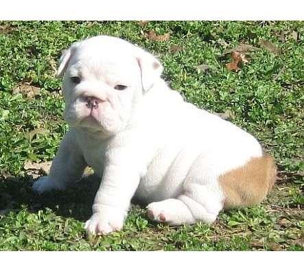 English Bulldog on Lovely Englisch Bulldog Welpen Zu Verkaufen In 30179 Hunde