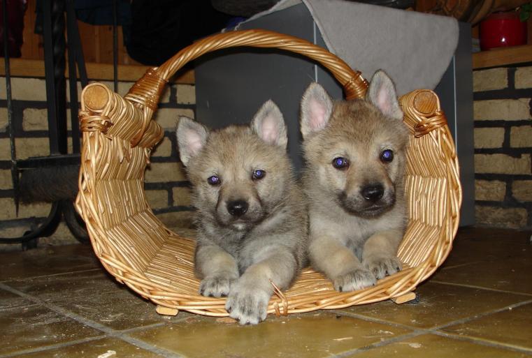 tschechoslowakischer wolfshund welpen in 48565 steinfurt hunde. Black Bedroom Furniture Sets. Home Design Ideas