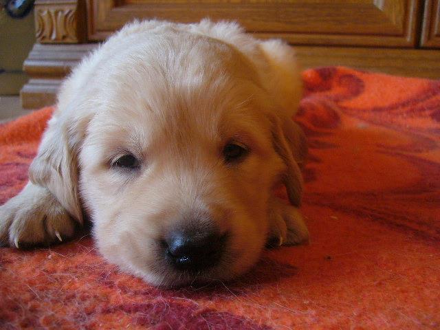Golden Retriever Fotos Welpen Welpen Golden Retriever Hunde